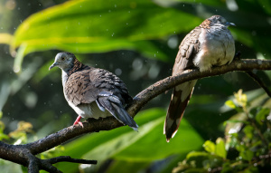 Two Bar Shouldered Dove sitting on a branch one looking right, one looking left.