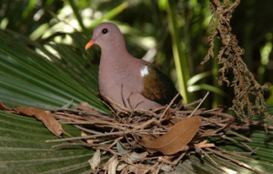Emerald Dove sitting in their nest on a branch.