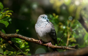 Peaceful Dove on a branch looking to the left with a blue feather head.