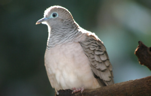 Peaceful Dove on a branch zoomed in to show feathers.