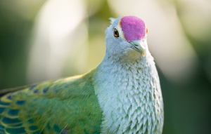 Rose Crowned Fruit Dove up close showing off the pink feathers on top of their head.