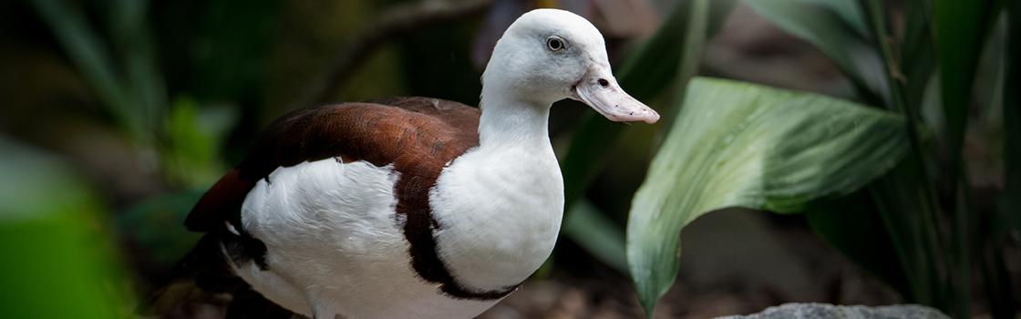 Burdekin Duck looking to the left in greenery.