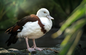 Burdekin Duck standing on branch with neck tucked in.