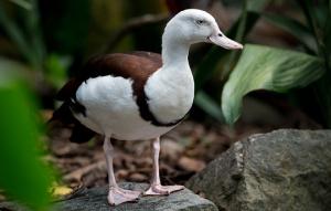 Burdekin Duck standing on rock showing full body looking left.