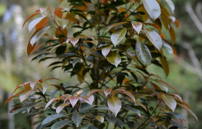 Eumundi Quandong Flora