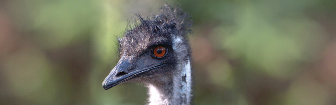 Emu looking to the right cropped in to the head.