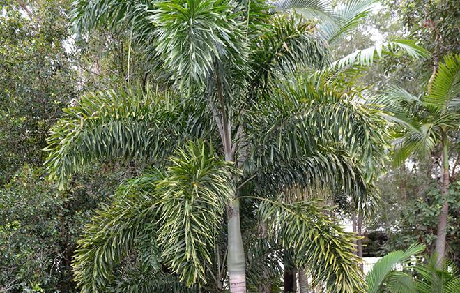 Foxtail Palm Flora