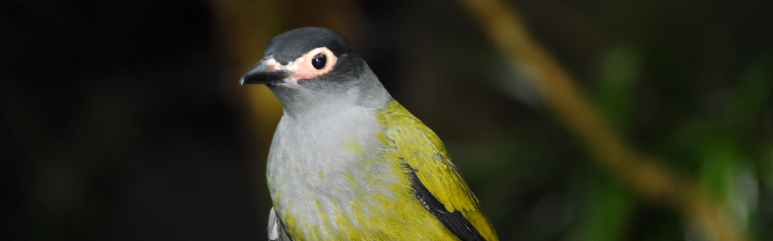 Australasian Figbird close up to show green, grey and black feathers.
