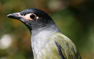 Australasian Figbird in profile view to show head and wings.
