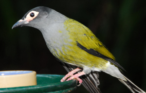 Australasian Figbird full body view as they stand on a feeder.