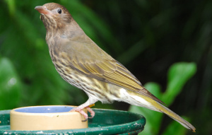 Australasian Figbird standing on a feeder, colored a lighter grey-brown color.