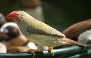 Star Finch standing on a feeder bowl.