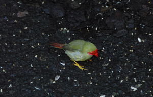 Looking down on a Star Finch that is standing on brown mulch.