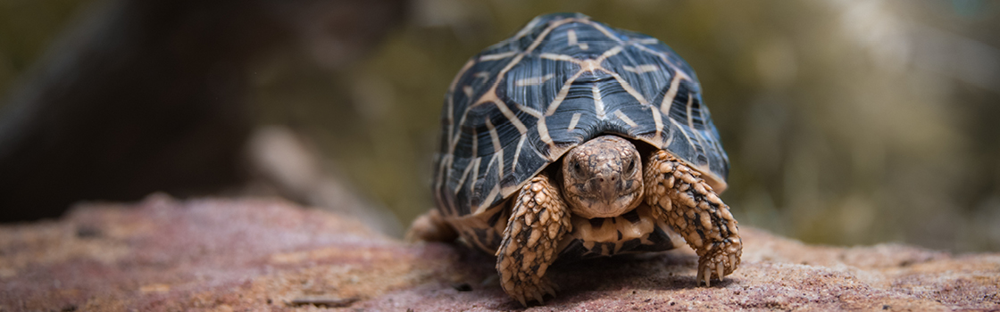Franklin the Star Tortoise standing on a red rock.