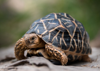Franklin the Star Tortoise standing on a red rock looking right.