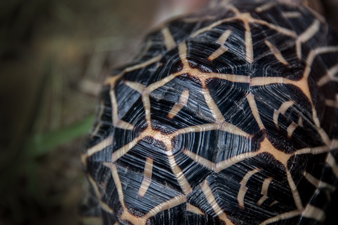 Franklin the Star Tortoise's shell up close.