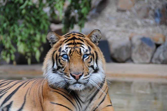 Hunter the Sumatran Tiger facing the camera.
