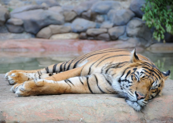 Hunter the Sumatran Tiger laying on a rock sleeping.