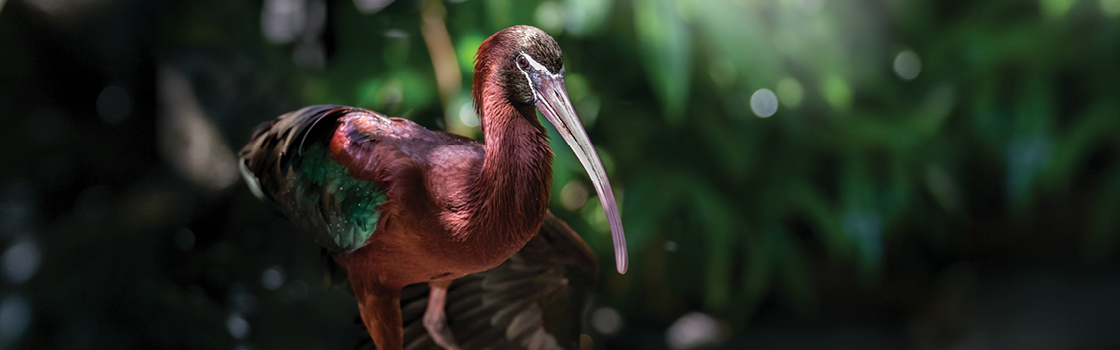 Glossy Ibis from legs up showing off red body and long beak.