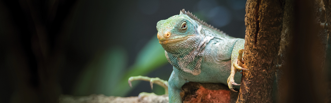 Fijian Crested Iguana sitting on branch with blurred background.