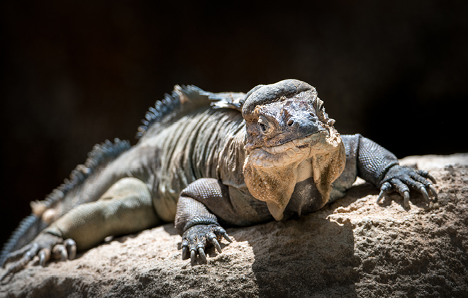 Rhinoceros Iguana laying on a rock facing the camera with dark background.
