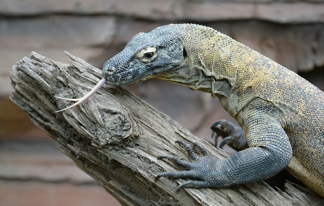 Indah the Komodo Dragon on top of a branch with tongue out.
