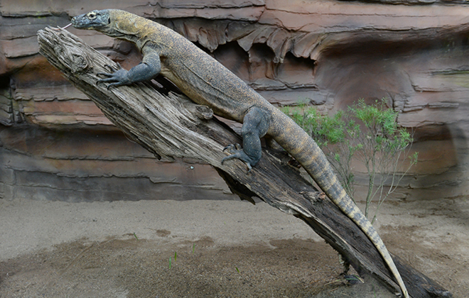Indah the Komodo Dragon on top of a branch in profile view.