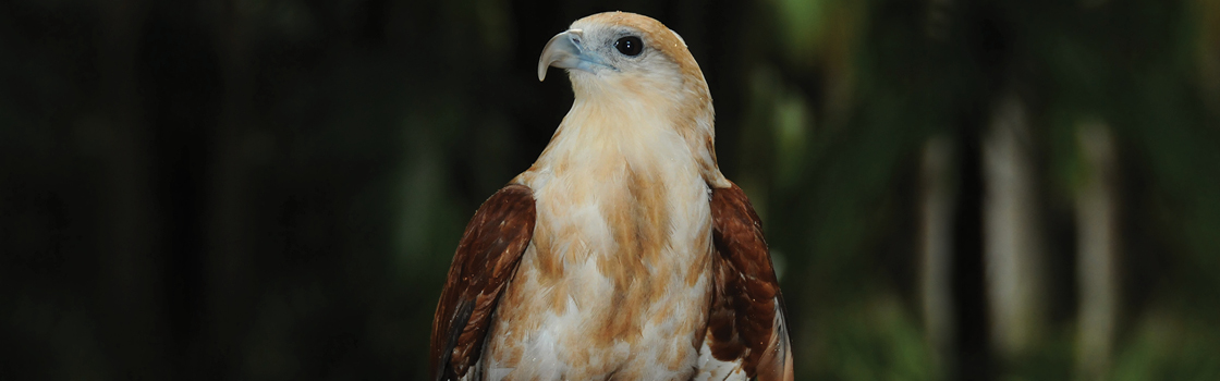 Brahminy Kite looking to the right and showing off light brown chest.