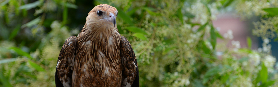 Whistling Kite from chest up looking to the left.