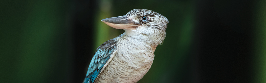 Blue Winged Kookaburra looking to the right with blurred dark background.
