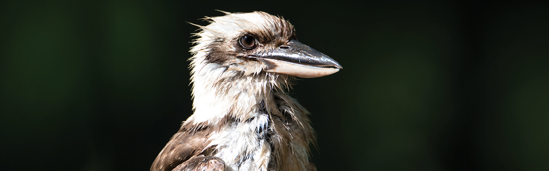 Laughing Kookaburra looking to the left cropped closely to the face to see detail.