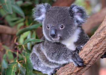 Koya Koala Adopt an Animal
