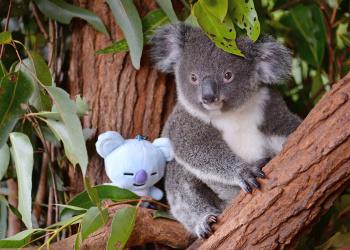 Koya the Koala with a stuffed animal in the tree.