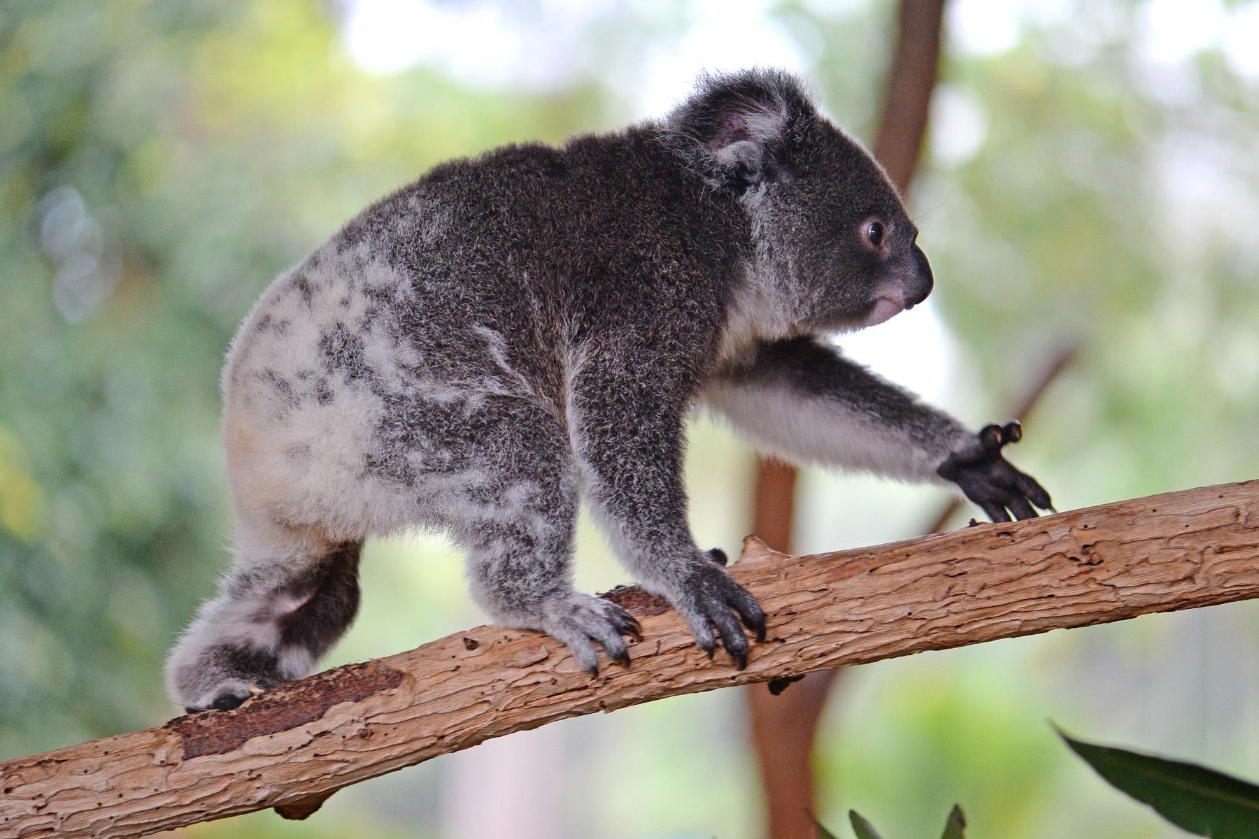 Koya the Koala walking across a branch.