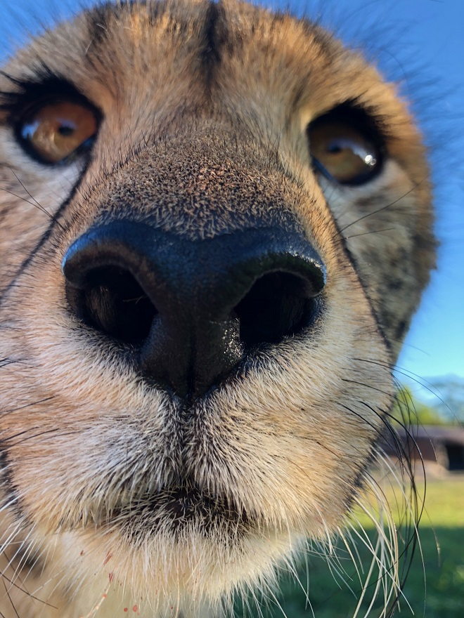 Lawrence the Cheetah looking close in at the camera, nose almost touching.