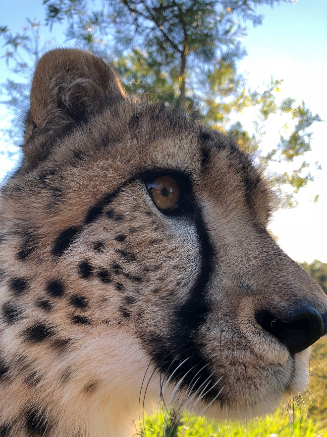 Lawrence the Cheetah looking to the left close to the camera.