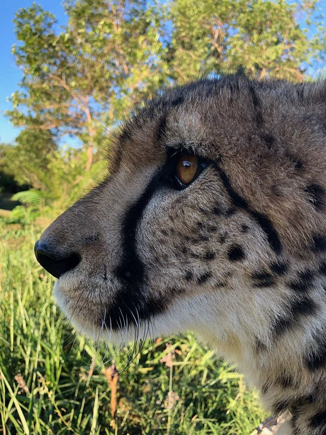 Profile view of Lawrence the Cheetah's head.