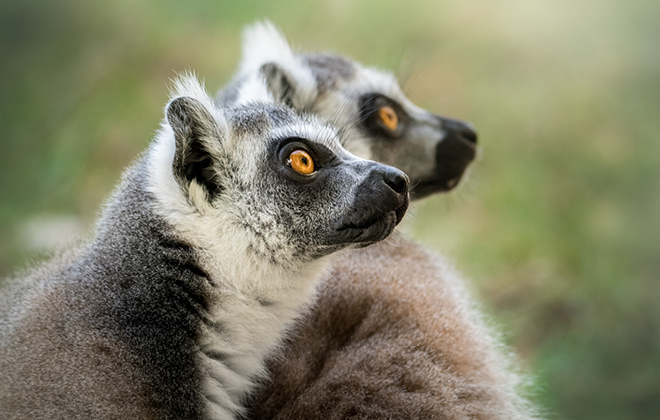 Two Ring-tailed Lemurs looking intently to the sky.