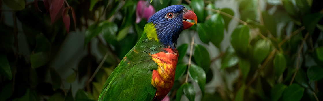 Rainbow Lorikeet looking to the left in profile view.
