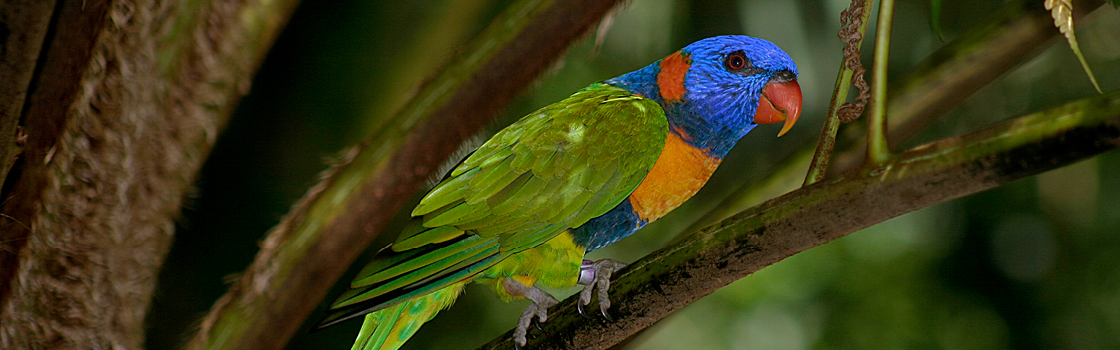 Red-Collared Lorikeet perched on a branch in a tree.