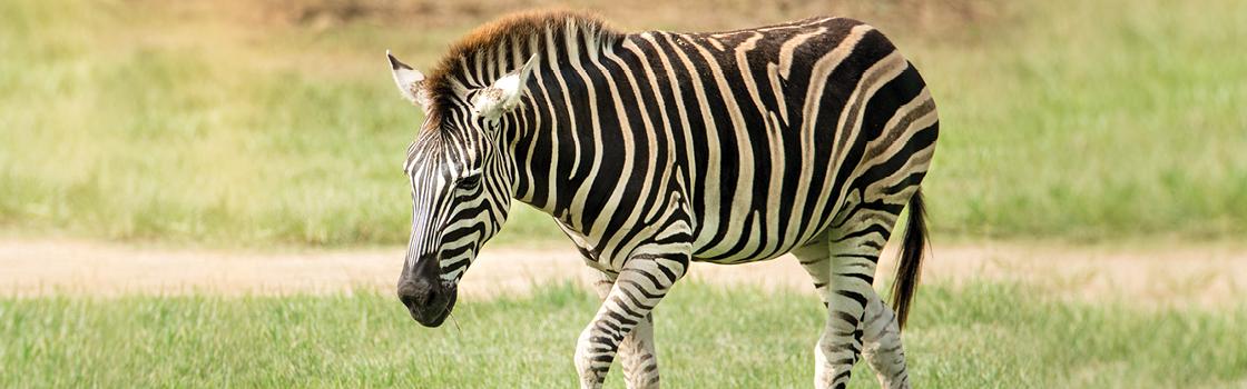 Adopt an Animal Lucas Zebra