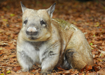 Meg the Southern Hairy-nosed Wombat looking to the right.