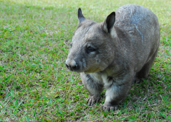 Meg the Southern Hairy-nosed Wombat standing on the grass.