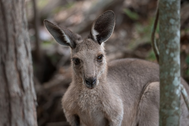 Melman the Grey Kangaroo standing crouched and looking at the camera.