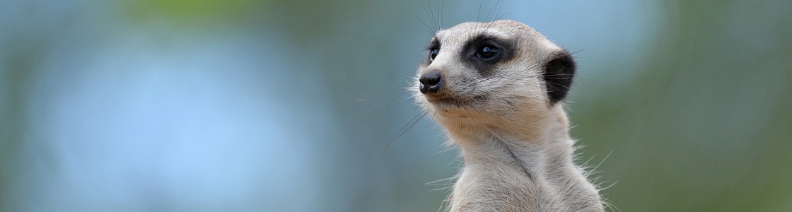 Molly the Meerkat from neck up looking to the right.