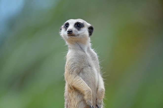 Molly the Meerkat cropped from front paws up as she stands.
