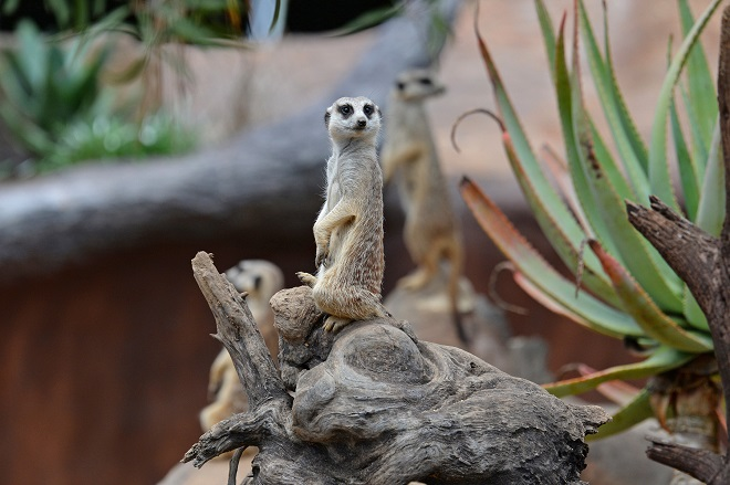 Molly the Meerkat standing on back legs with front paws raised with other Meerkats.