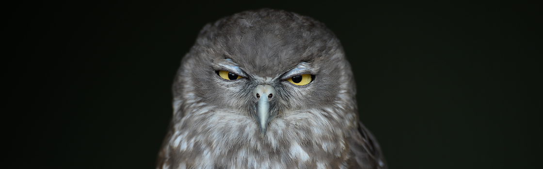 Barking Owl with black background squinting at the camera.