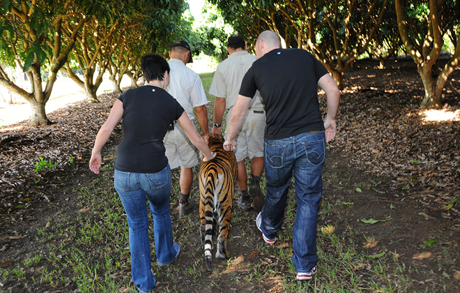 Visitors and zookeepers walking with a tiger.