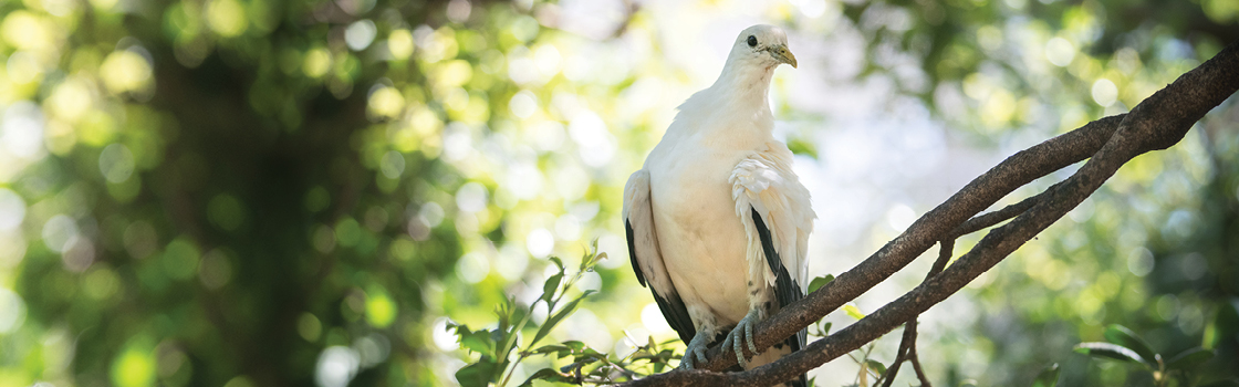 Torres Strait Island Pigeon standing on a branch high in a tree.